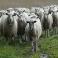 Бизнес-план «Расширение крестьянско-фермерского хозяйства по разведению овец» в Лаишевском районе Республики Татарстан